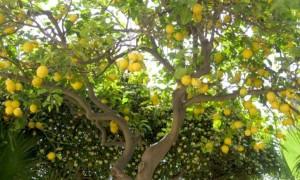 furto-limoni