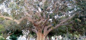Augusta, alla riscoperta del centenario Ficus macrophylla della villa comunale